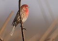 HouseFinch-30DEC2017.jpg