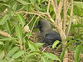 House Crow Corvus splendens by Raju Kasambe DSCN0468 (7) 45.jpg