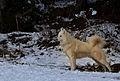 Husky de Sibérie 2.jpg