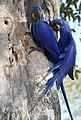 Hyacinth Macaws (Anodorhynchus hyacinthinus) on nest ... (48383023571).jpg