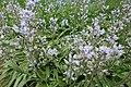 Hyacinthoides hispanica in Jardin des Plantes 02.jpg
