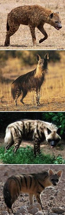 Hyena - Wikipedia, the free encyclopedia