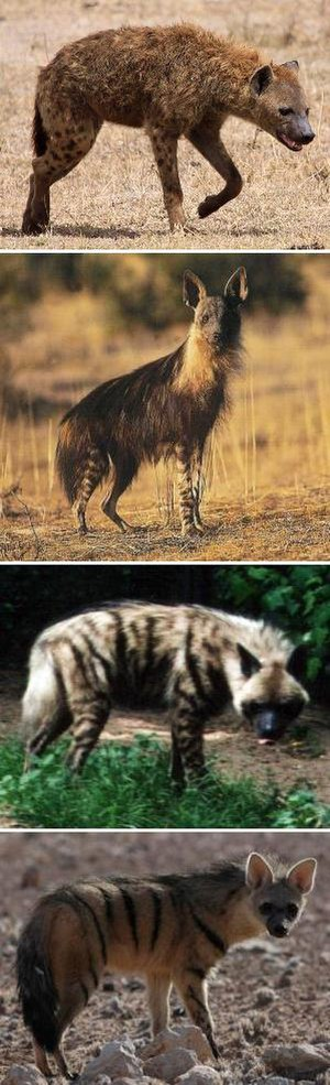 Hyena - All extant species of hyenas in descending order of size: spotted hyena, brown hyena, striped hyena and aardwolf.