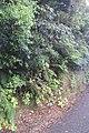 Hydrangea macrophylla (Thunb.) Ser. (AM AK361280-3).jpg