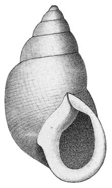 Odontostomidae - Wikipedia