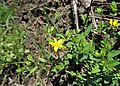 Hypericum humifusum kz01.jpg