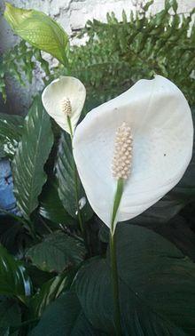 Spathiphyllum Wikipedia La Enciclopedia Libre