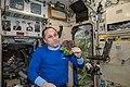 ISS-55 Anton Shkaplerov with red romaine lettuce in the Zvezda Service Module.jpg