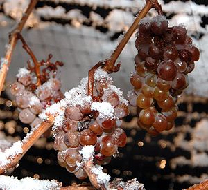 Photo of ice wine grapes, frozen on the vine. ...