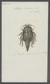 Idotea entomon - - Print - Iconographia Zoologica - Special Collections University of Amsterdam - UBAINV0274 098 06 0002.tif