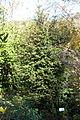 Ilex pernyi - Quarryhill Botanical Garden - DSC03374.JPG