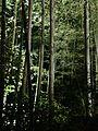 Illuminated Sagano bamboo forest 16.jpg