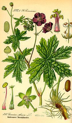 Reproduccion asexual de geranios flowers