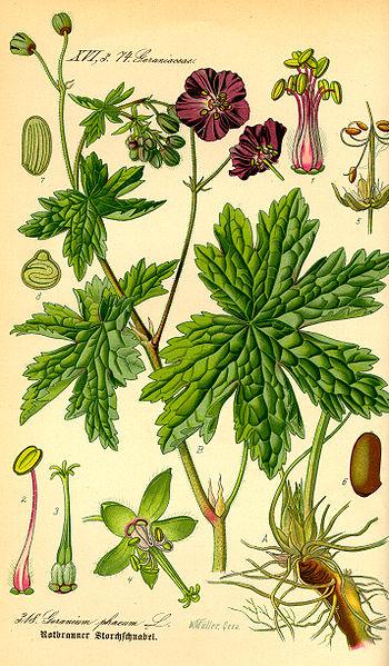Hình:Illustration Geranium phaeum0.jpg