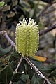 Immature flower of an Banksia integrifolia.jpg