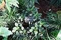 Impatiens morsei - Wilhelma Zoo - Stuttgart, Germany - DSC01805.jpg