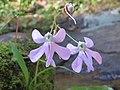 Impatiens scapiflora -Leafless-Stem Balsam from Parambikulam (2).jpg