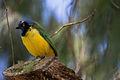 Inca Jay - Querrequerre (Cyanocorax yncas) (9908036113).jpg