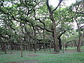 India - Kolkata - 08 - Great Banyan Tree (2798679001).jpg