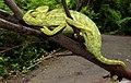 Indian Chameleon Chamaeleo zeylanicus by Dr. Raju Kasambe DSCN7134 (11).jpg