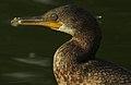 Indian Cormorant Phalacrocorax fuscicollis by Dr. Raju Kasambe DSCN4996 (3).jpg