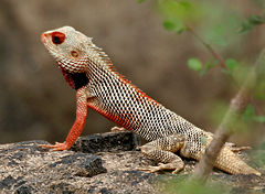 Indian Garden Lizard (Calotes versicolor) in AP W IMG 9913.jpg