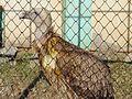 Innocent Vulture.jpg