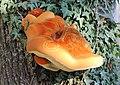 Inonotus hispidus, UK.jpg
