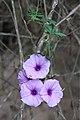 Ipomoea cairica (Convolvulaceae) (24336129322).jpg