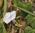 Ipomoea marginata in Hyderabad W IMG 4987.jpg