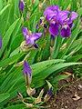 Iris germanica 0001.JPG