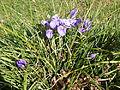 Iris unguicularis au Jardin des plantes.JPG