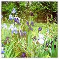 Iris violet.JPG