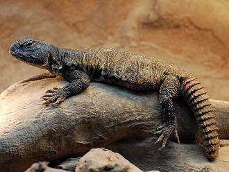 Uromastyx - Bell's dabb lizard (Uromastyx acanthinura)