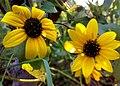 JNU Two Yellow Sunflowers.jpg