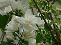 Jaśminowiec (Philadelphus L.) 01.jpg