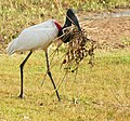 Jabiru (Jabiru mycteria) collecting material for its nest.jpg