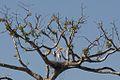Jabiru Stork (5295142559).jpg
