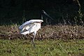 Jabiru mycteria Crooked Tree 01.JPG