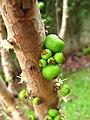 Jaboticaba Myrciaria cauliflora fruit 2.jpg