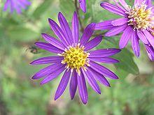 https://upload.wikimedia.org/wikipedia/commons/thumb/4/48/Japanese_Aster_ageratoides_ssp_ovatus.jpg/220px-Japanese_Aster_ageratoides_ssp_ovatus.jpg