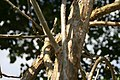 Jatropha curcas 2zz.jpg