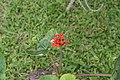 Jatropha podagrica 26zz.jpg