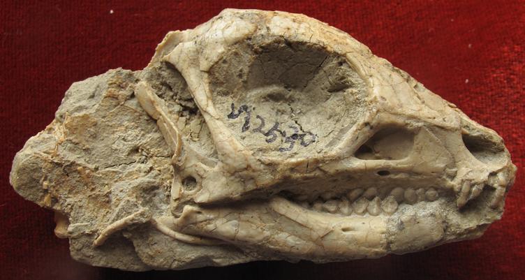 Jeholosaurus shangyuanensis