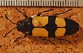 Jewel Beetle (Agelia petelii) (8244072565).jpg