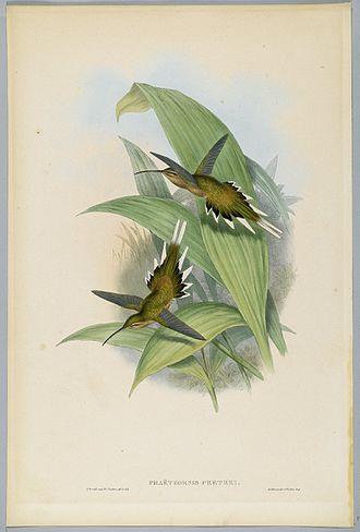 John Gould - Phaethornis Pretrei, the Planalto Hermit, Brooklyn Museum