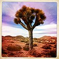 Joshua Tree - panoramio (2).jpg