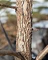 Juglans nigra (Black Walnut) (32695971220).jpg