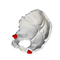 Jugular process of occipital bone - close-up02.png