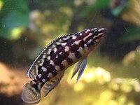 Julidochromis marlieri (Worclaw zoo).JPG